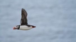 Fratercula Arctica Photo#1