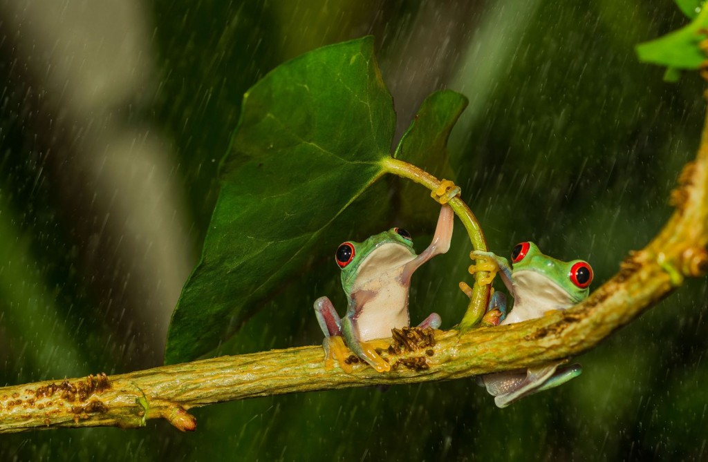 Frog With Umbrella wallpapers HD