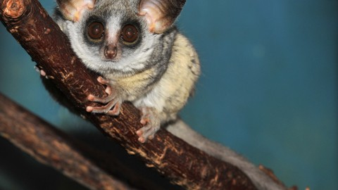 Galagos wallpapers high quality