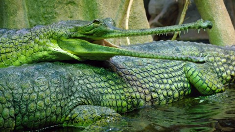 Gavial wallpapers high quality