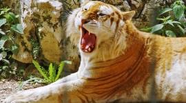 Golden Tigers Wallpaper