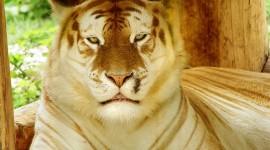 Golden Tigers Wallpaper For Desktop