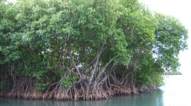 Mangrove Trees Desktop Wallpaper For PC
