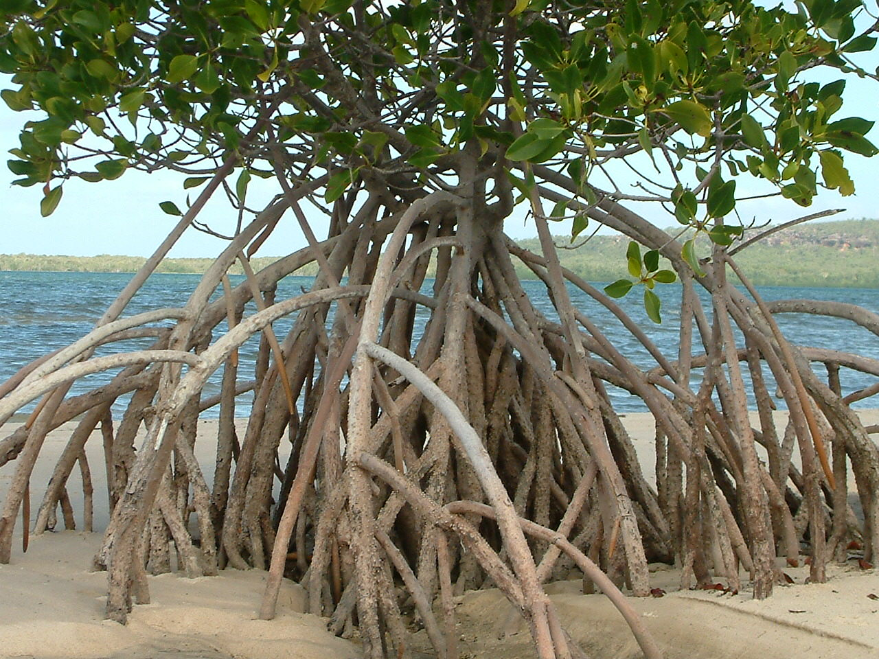 Mangrove Trees Wallpapers High Quality Download Free