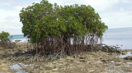 Mangrove Trees Photo