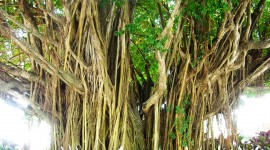 Mangrove Trees Photo Free