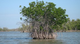 Mangrove Trees Photo#1