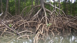 Mangrove Trees Photo#2