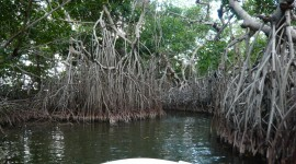 Mangrove Trees Wallpaper For PC