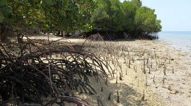 Mangrove Trees Wallpaper Free
