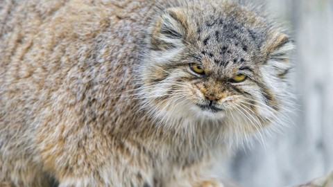 Manul wallpapers high quality