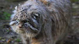 Manul Desktop Wallpaper For PC