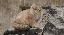 Manul Photo Download