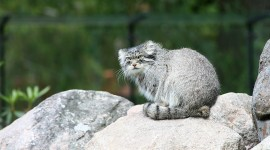 Manul Wallpaper Download Free