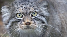 Manul Wallpaper For Android