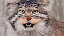 Manul Wallpaper For Desktop