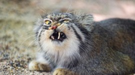 Manul Wallpaper For PC