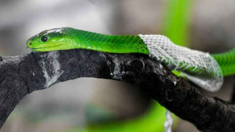 Molting Snakes wallpapers high quality