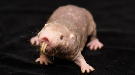 Naked Mole Rat Best Wallpaper