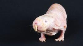 Naked Mole Rat Wallpaper 1080p