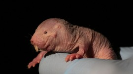 Naked Mole Rat Wallpaper Free