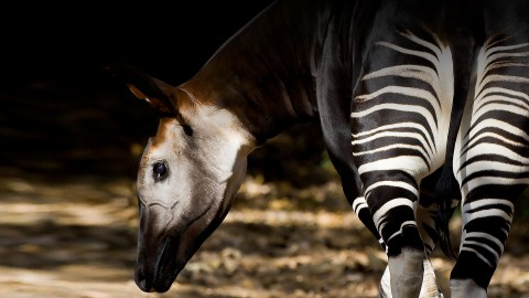 Okapi wallpapers high quality