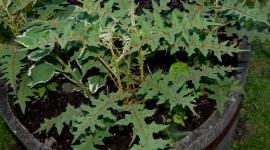 Porcupine Tomato Photo Free