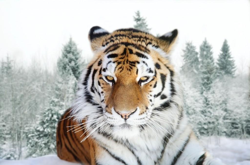 Siberian Tiger wallpapers HD