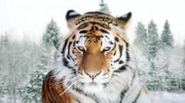 Siberian Tiger Best Wallpaper