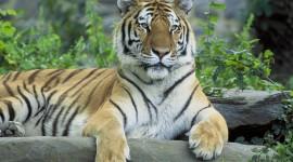 Siberian Tiger Desktop Wallpaper