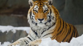 Siberian Tiger Desktop Wallpaper For PC