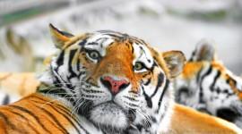 Siberian Tiger Desktop Wallpaper HD