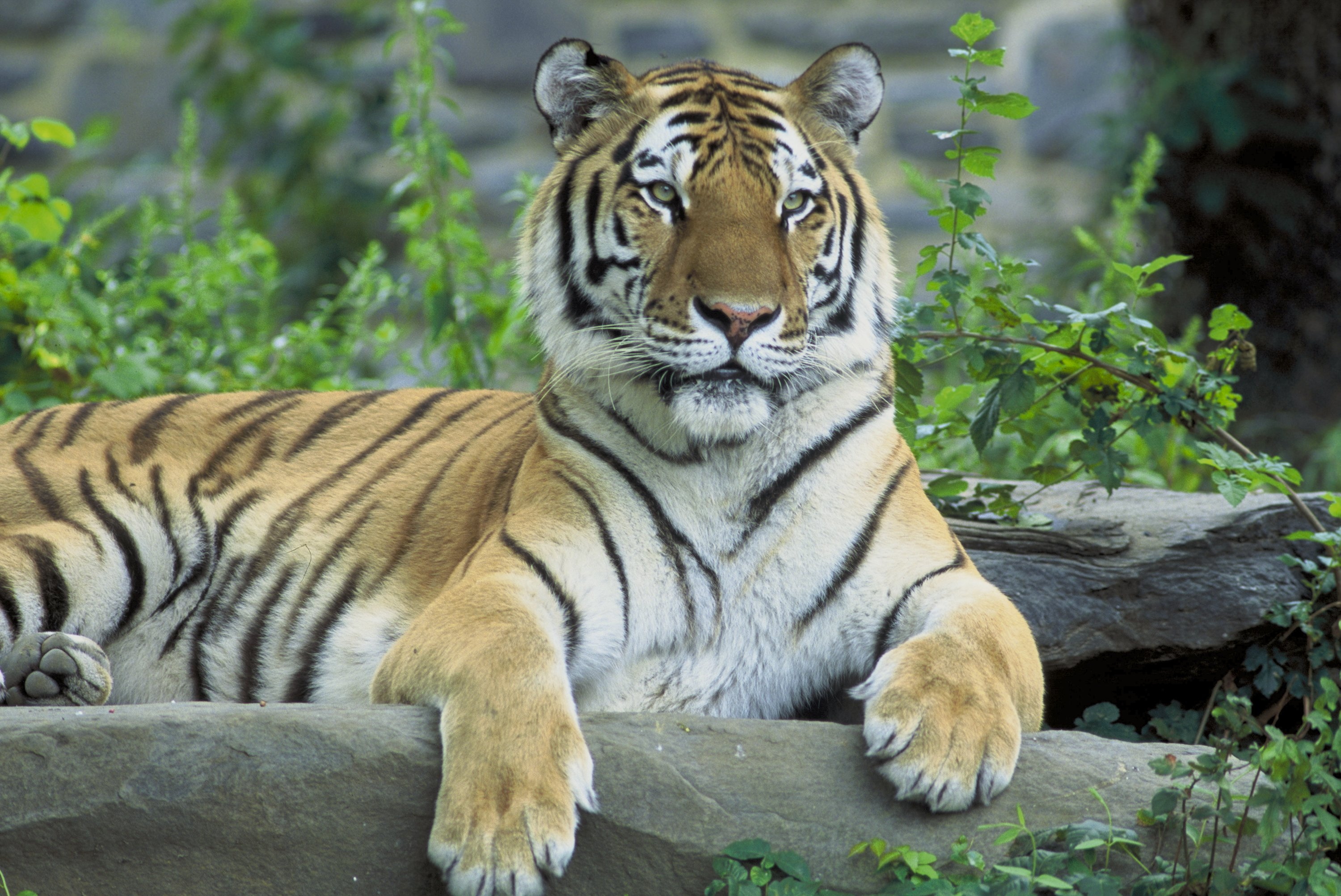 Siberian Tiger Wallpapers High Quality