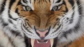 Siberian Tiger Photo Download
