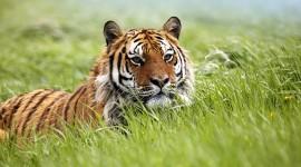 Siberian Tiger Photo#1