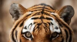 Siberian Tiger Photo#2