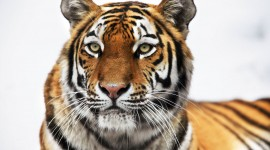 Siberian Tiger Wallpaper For Desktop