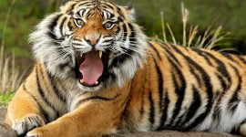 Siberian Tiger Wallpaper For PC