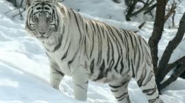 Siberian Tiger Wallpaper Free