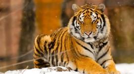 Siberian Tiger Wallpaper Full HD