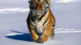 Siberian Tiger Wallpaper Gallery