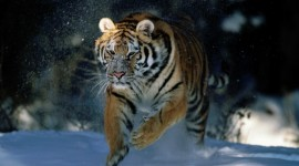 Siberian Tiger Wallpaper HQ