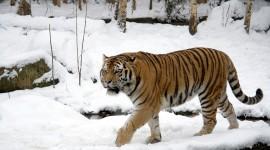 Siberian Tiger Wallpaper#1
