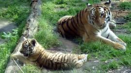 Siberian Tiger Wallpaper#2