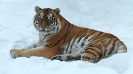 Siberian Tiger Wallpaper#3