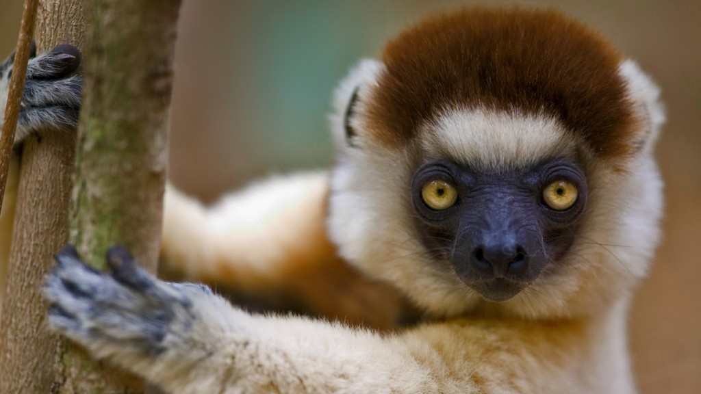 Sifaka wallpapers HD