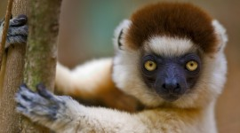 Sifaka Best Wallpaper