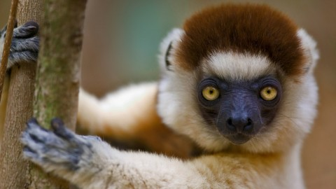 Sifaka wallpapers high quality
