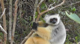 Sifaka Desktop Wallpaper For PC