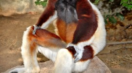 Sifaka Wallpaper For Android